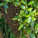 Swarm of bees at the campsite