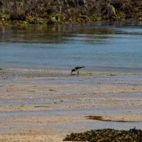 Herm island, Shell beach, Oyseter catcher