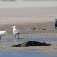 Herm island, Shell beach