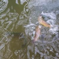 Mottisfont trout