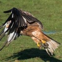 Red Kite take off