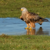 Red Kite on ice