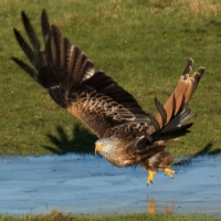 Red Kite on ice take off