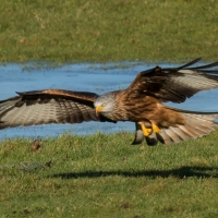 Red Kite on ice take off and landing