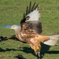 Red Kite take off