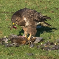 Buzzard and delicious liver