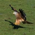 Red Kite landing