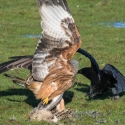 Red Kite, Rook pulling tail sequence
