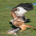 Red Kite, time to leave