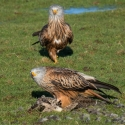 Red Kite friends