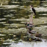 Culzean Castle, Swan Pond