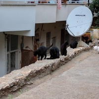 Black cats at Kas