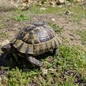 Tortoise at Patara