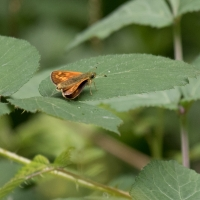 Skipper at Rushbeds wood