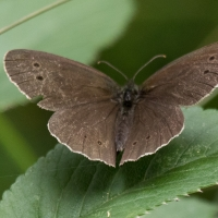 The Ringlet at Rushbeds wood