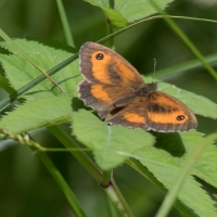 The Gatekeeper at Rushbeds woods