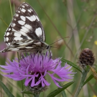 Marbled White at Rushbeds wood