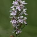 Orchid at Rushbeds wood