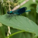 Demoiselle at Rushbeds woods