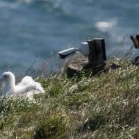 Royal Albatross chick