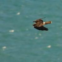 Hawk at Royal Albatross center