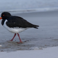 South Island Pied Oyster Catchers
