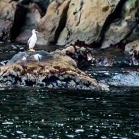 Pied Shag on Doubtful  Sound