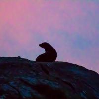 New Zealand Fur Seals - Doubtful Sound