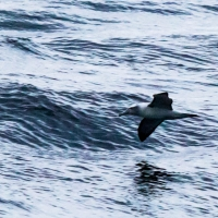 Albatross on Doubtful Sound
