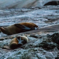 New Zealand Fur Seals - Doubtful Sound