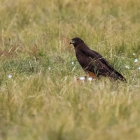 Australasian Harrier Hawk