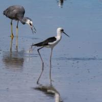 Miranda Shorebird Centre, Pied Stilt, White Headed Heron