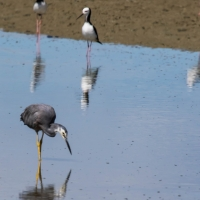 Miranda Shorebird Centre, Pied Stilt, White Headed Heron