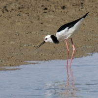 Miranda Shorebird Centre, Pied Stilt