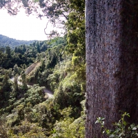 The Square Kauri
