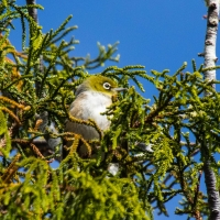 Treetop Walk - Silvereye