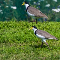 Spur-winged Plovers