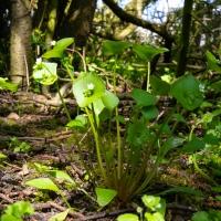 Spring Beauty (Montia perfoliata)