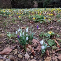 Snowdrops in the University Park