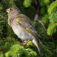 Young Greenfinch