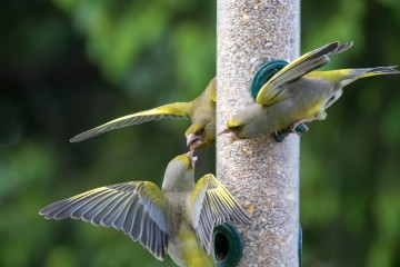 Greenfinch on the feeder