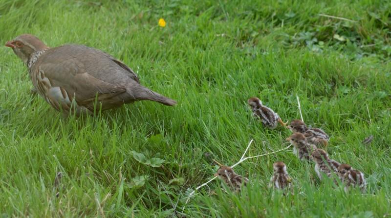 Red-legged Partridge Family