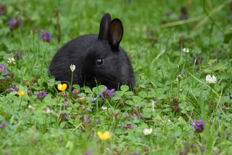 Wild Black Rabbit