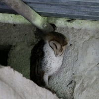 Ecuador, Galapagos, Santa Cruz Island. Barn Owl
