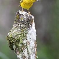Ecuador, Galapagos, Santa Cruz Island, Yellow Warbler