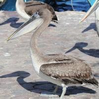 Ecuador, Galapagos, Santa Cruz Island. Brown Pelican