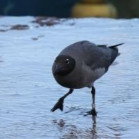 Ecuador, Galapagos, Santa Cruz Island. Lava Gull