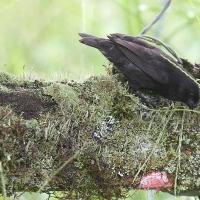 Ecuador, Galapagos, Santa Cruz Island, Small Ground Finch