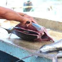 Ecuador, Galapagos, Santa Cruz Island, Yellow Finned Tuna