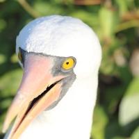 Ecuador, Galapagos. Tower Island